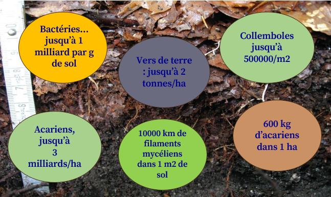 Biodiversité des sols de forêts par Thierry GAUQUELIN